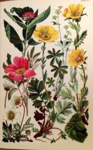 Alpenflorabloem
